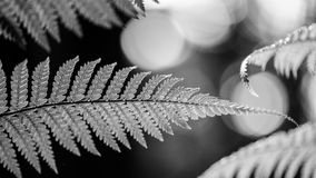 Silver fern in black and white Stock Photo