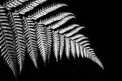 Silver fern. In black and white sign of Newzealand Royalty Free Stock Photography