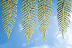 Silver fern foliage Royalty Free Stock Image