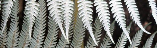 Silver fern frond underside Stock Photo