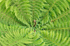 Silver fern fronds Stock Image
