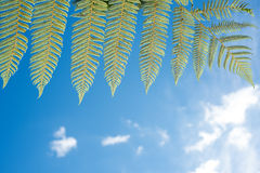 Silver fern fronds foliage Stock Photos