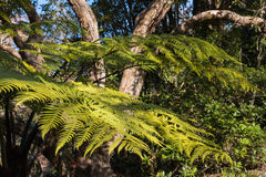 Silver fern growing in rainforest in New Zealand. Closeup of silver fern growing in rainforest in New Zealand Royalty Free Stock Image
