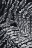 Silver fern leaf in black and white Stock Image