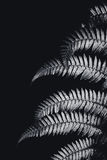 Silver fern leaf in black and white Stock Photos