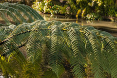 Silver fern leaves with river in background Royalty Free Stock Images