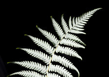 Silver Fern. New Zealand silver fern (Cyathea dealbata Stock Photo