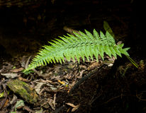 Silver Fern - Ponga Tree Royalty Free Stock Image