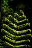 Silver Fern - Ponga Tree Royalty Free Stock Photo