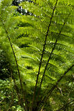 Silver Fern - Ponga Tree Royalty Free Stock Photography