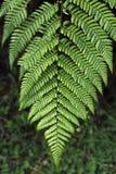 Silver fern Stock Image