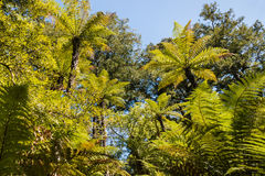 Silver fern trees foliage. Against blue sky Stock Image