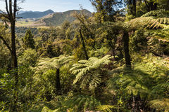 Silver ferns growing in forest Royalty Free Stock Images