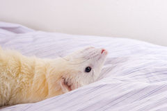 Silver the Ferret. White with orange tinting male ferret (DEW - Dark Eyed White) with dark eyes and perfect pink nose Royalty Free Stock Images