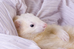 Silver the Ferret. White with orange tinting male ferret (DEW - Dark Eyed White) with dark eyes and perfect pink nose. The ferret is a domestic mammal of the stock image