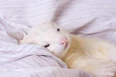 Silver the Ferret Stock Images