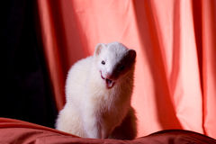 Silver the Ferret. White ferret with dark eyes and pink nose (touch out) naturally posing on a orange and black muslin backdrop Royalty Free Stock Image