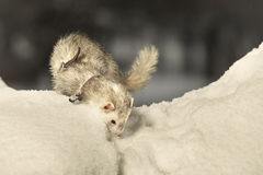 Silver ferret on fresh snow Royalty Free Stock Photography