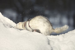 Silver ferret on leash posing and enjoying winter time in park Stock Photos