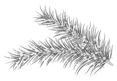 Silver fir branches Royalty Free Stock Photography