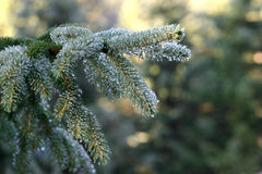 Silver fir brenches Stock Photo
