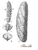 Silver fir cones and seeds, botanical vintage engraving Royalty Free Stock Photography