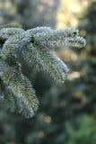 Silver fir drops stock photos