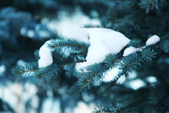 Silver fir-tree branch Stock Photography