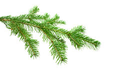 The silver Fir Tree Branch. Isolated on white Stock Photo
