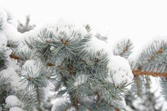 Silver fir-tree branch Royalty Free Stock Photo