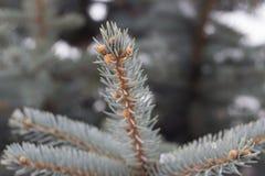 Silver fir tree closeup branch. Silver fir tree closeup needles on blurry background Stock Photo