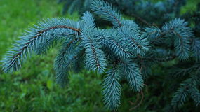 Silver fir tree wallpaper Royalty Free Stock Image