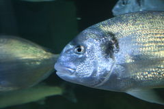 Silver fish Royalty Free Stock Photos