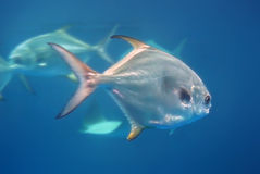 Silver Fish Stock Image