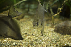 Silver fish. In an aquarium stock photos