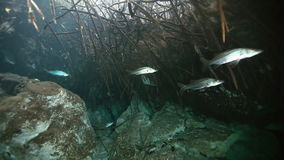 Silver fish in bush lake Yucatan Mexican cenote. stock video