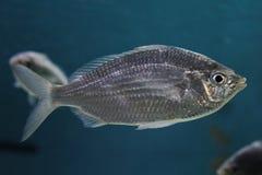 Silver Fish. Monterey Bay CA, circa February 2015 - silver fish in an aquarium royalty free stock photos