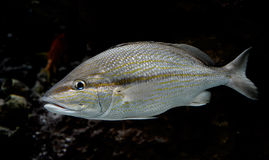 Silver fish underwater Stock Photos
