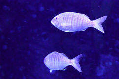 Silver fishes stock images