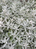 Silver foliage Royalty Free Stock Photos