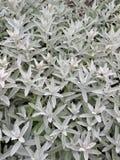 Silver foliage Royalty Free Stock Photos