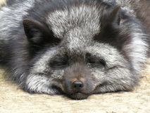 Silver Fox. Sleeping silver fox Royalty Free Stock Photography