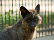 Silver fox Stock Photo