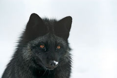 Silver fox Stock Photography