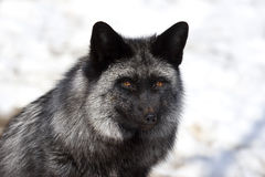 Silver Fox Royalty Free Stock Photo