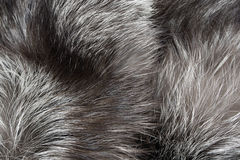 Silver fox background Royalty Free Stock Images