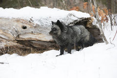 Silver Fox and forest. Silver Fox looking onward in wintertime Stock Photo