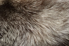 Silver fox fur Royalty Free Stock Photo