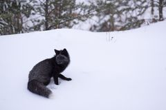 Silver fox heading towards the forest Stock Photography