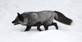Silver Fox Hunting for Food. In Snow Stock Images